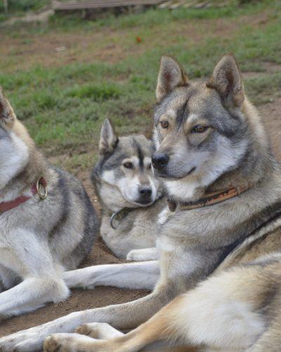 chiens-2