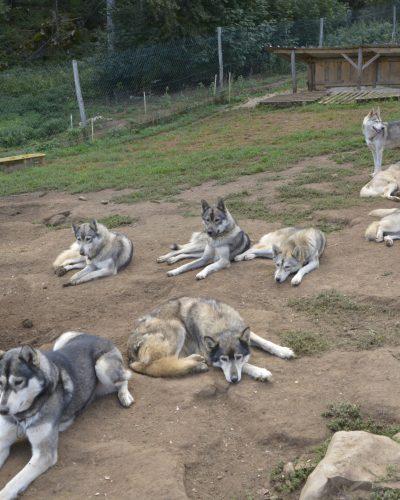 chiens-3